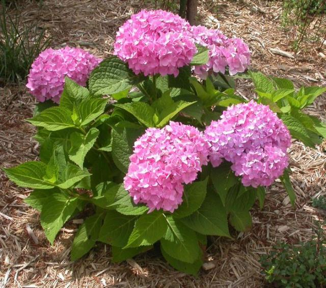 Pink Hydrangea flowers blooming beautifully on summer garden.JPG