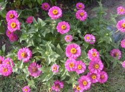 Pink summer flowers with yellow and orange centers.JPG