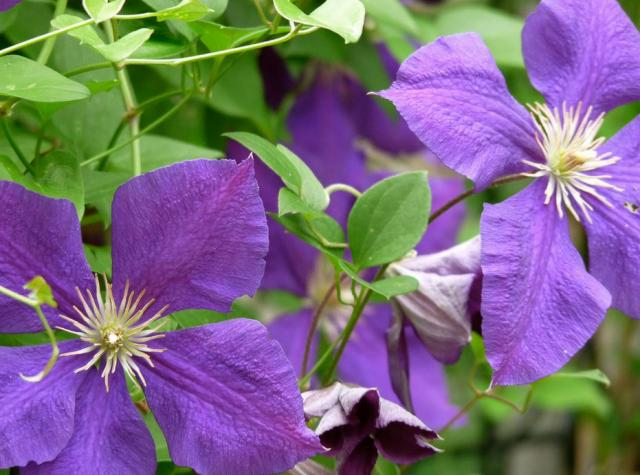 Purple Clematis flowers.JPG
