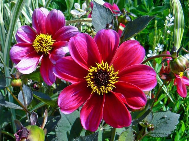 Redish pink summer garden flowers photos.JPG