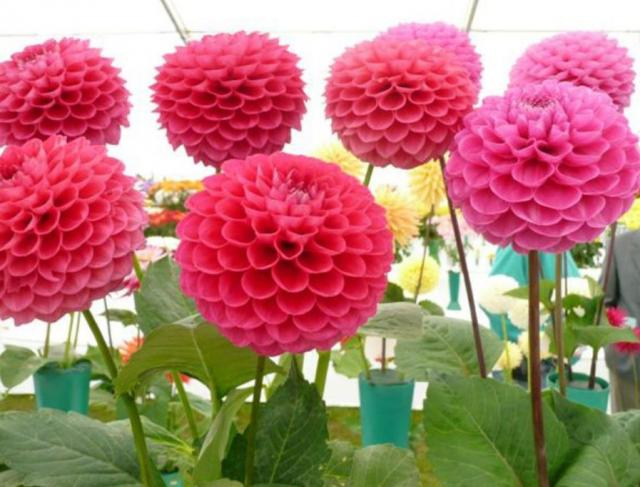 Round summer flowers picture of pink Dahlias flowers.JPG