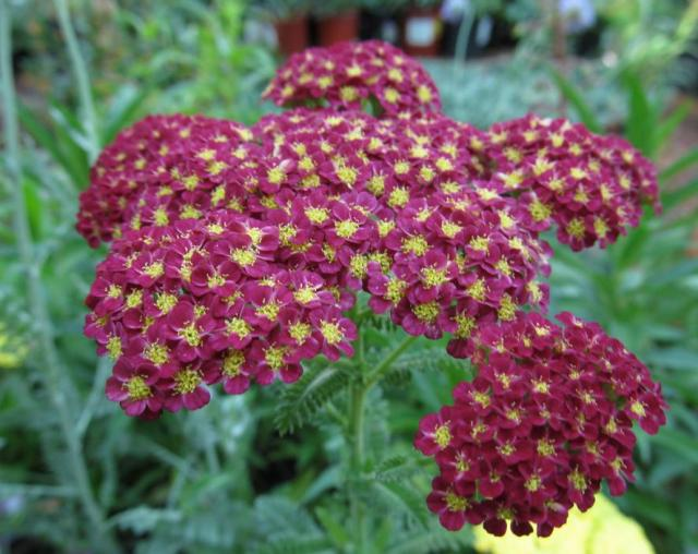 Summer flowers Achillea pictures.JPG