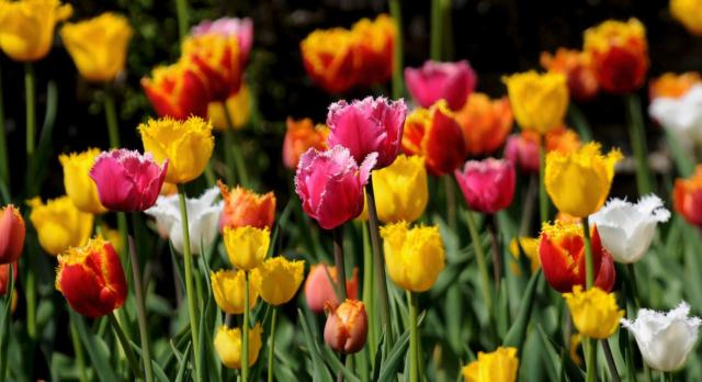 Summer flowers tulips with unique types.JPG
