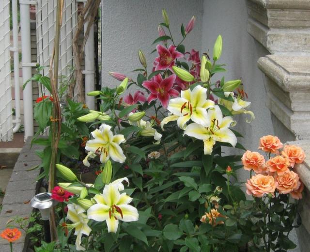 Summer garden flowers photos of lilies in pink lilies and white lilies and peach roses.JPG