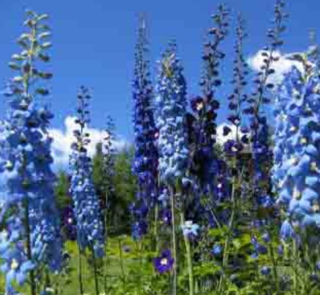 Tall blue summer flowers images.JPG