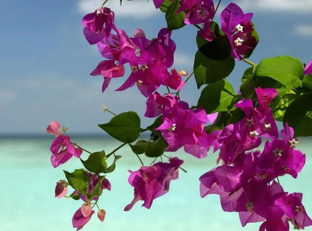 Tropical beach flowers in pink pictures.JPG