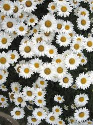 full of daisy flowers.jpg
