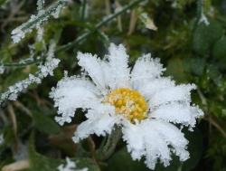 frozen daisy photo.jpg
