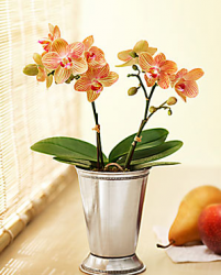 Orchid Duo in a Julep Cup is an elegant mother's day flower gift.PNG