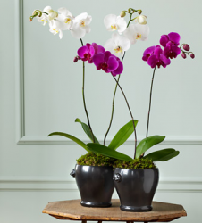 Phalaenopsis Orchid for mother's day.PNG