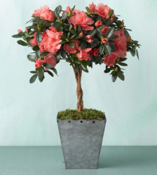 Picture of Martha Stewart Coral Azalea Topiary.PNG