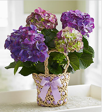 Picture of mother's day backet flowers with Lavender Hydrangea.PNG