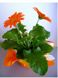 Inexpensive mother's day flowers Gerbera in orange.PNG