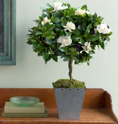 Martha Stewart Gardenia Topiary with square metal pot.PNG