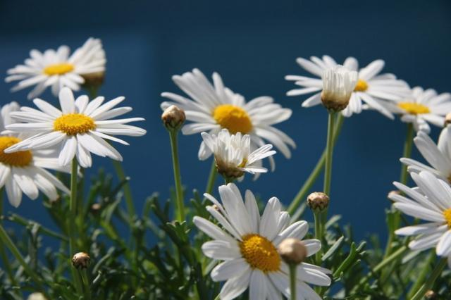 field of white daisy flowers pictures.jpg