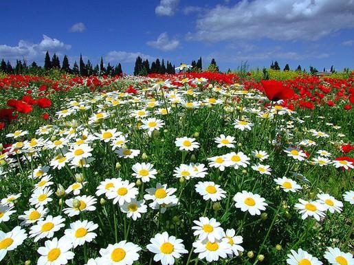 field of daisiesjpg