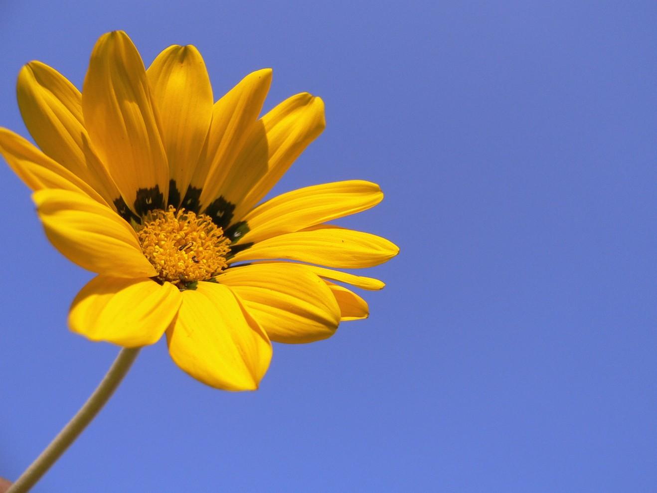 dark yellow daisy flower jpg hi