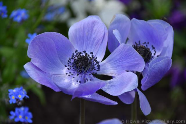 Purple Anemone Coronaria Flowers of Schwerin Germany.jpg