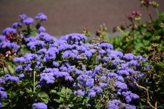 Purple fuzzy flowers in ponta delgada azoresg hi res 1440p qhd purple fuzzy flowers in ponta delgada azoresg mightylinksfo