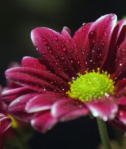red daisy flower with green eye, Natural flower