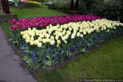 Group of Magenta Tulips with Yellow Ones.jpg