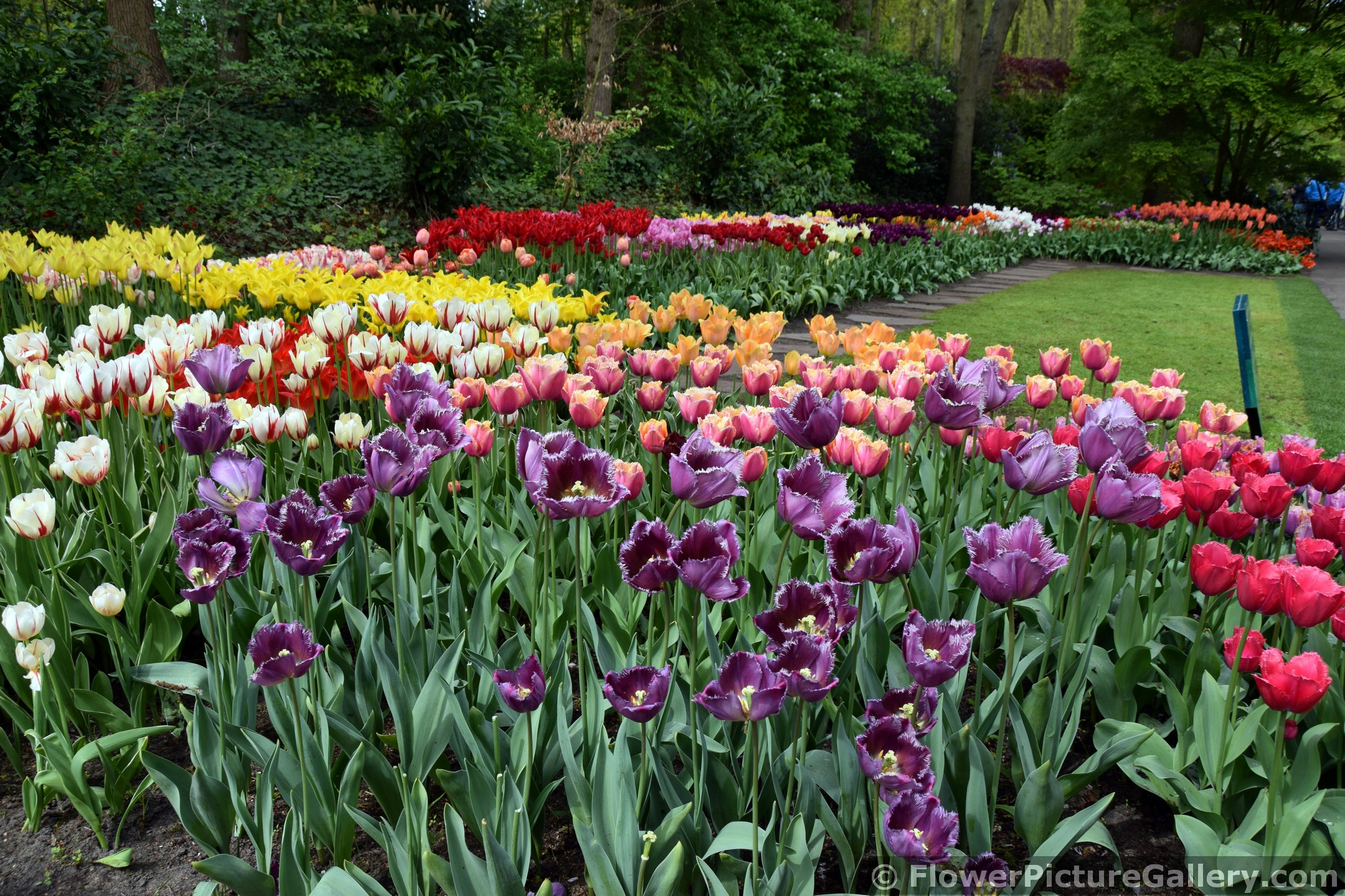 Huge Variety of Beautiful Tulips @ Keukenhof Gardens 2015.jpg