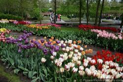 Colorful Tulips Gardens Next to Pond in Keukenhof.jpg