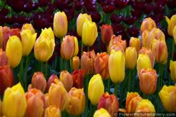 Red and Yellow Tulips plus Hybrids in a Group @ Keukenhof.jpg