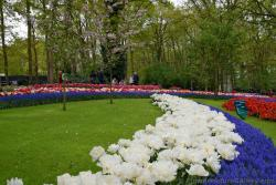 Curving Row of White Tulips with Ocean Magic Muscari.jpg