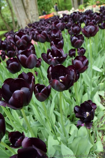 Enkele Late Tulipa Queen of Night Black Tulips.jpg