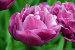 Pink Tulip Tulipa Backpacker Flower @ Keukenhof.jpg