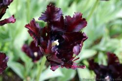 Parkiet Tulipa Parrot Tulips in Dark Purple (Close-Up).jpg