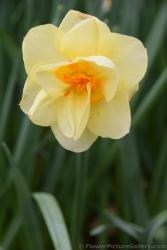 Light Yellow Flower Narcis Tahiti.jpg