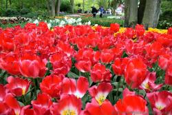 Bright Red Tulips Field of Keukenhof Gardens.jpg