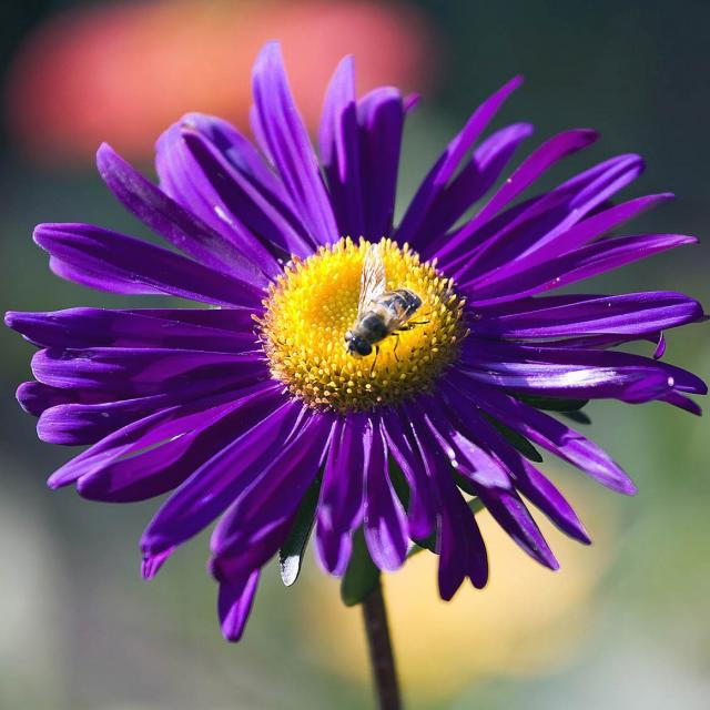 Purple Daisy Flower: Dark Purple Daisy Flower With Yellow Center With Bee On It