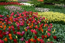 Fields of Beautiful Red and Pink Tulips with Yellow & White Ones @ Keukenhof.jpg
