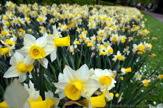 White Flowers with Yellow Center Sticking Out Like a Horn Daffodils @ Keukenhof Gardens.jpg