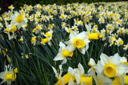 Narcissus Daffodil Flowers in White with Yellow Part Sticking Out.jpg