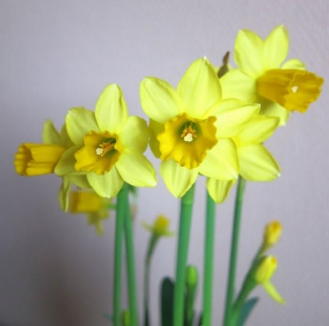 Yellow daffodils in pots pictures.JPG