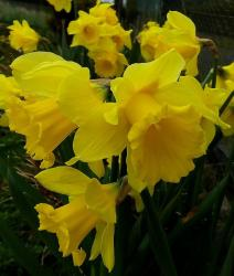 Yellow daffodil flowers pictures.JPG