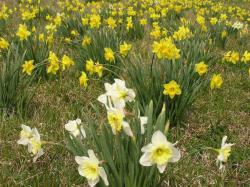 Yellow daffodils and white daffodils garden pictures.JPG