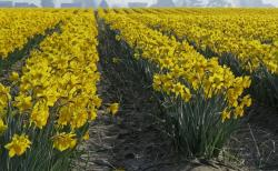 yellow daffodils farm fields pictures.JPG