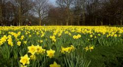 Yellow daffodils fields photos.JPG