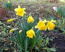Yellow daffodils flowers in home garden.JPG