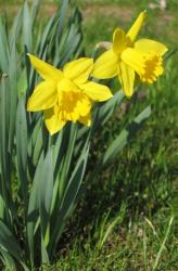 Yellow daffodils images.JPG