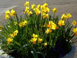Yellow daffodils in large pots pictures.JPG