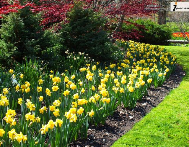 Yellow daffodils in nature garden.JPG