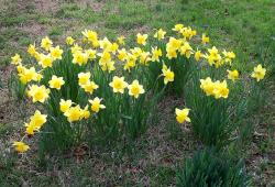 Yellow daffodils photo.JPG
