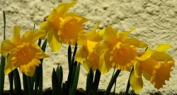 Yellow daffodils photos.JPG