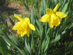 Yellow daffodils spring flowers pictures.JPG